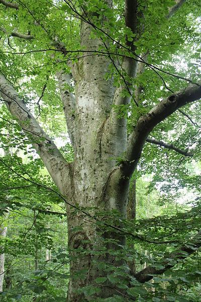 A Beech tree.