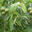 Black Walnut tree leaves and nuts.