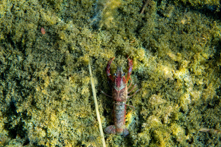 Red Swamp Crayfish.