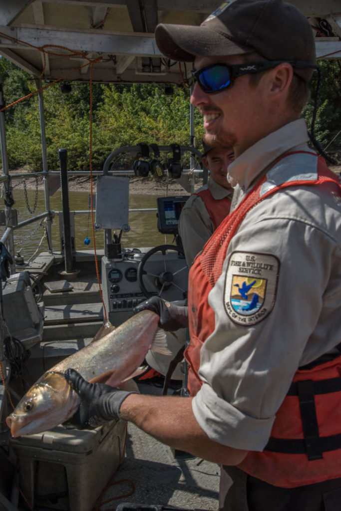 U.S. Fish and Wildlife Service worker holds invasive Silver carp.