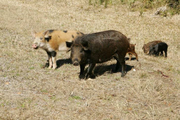 Wild hogs.
