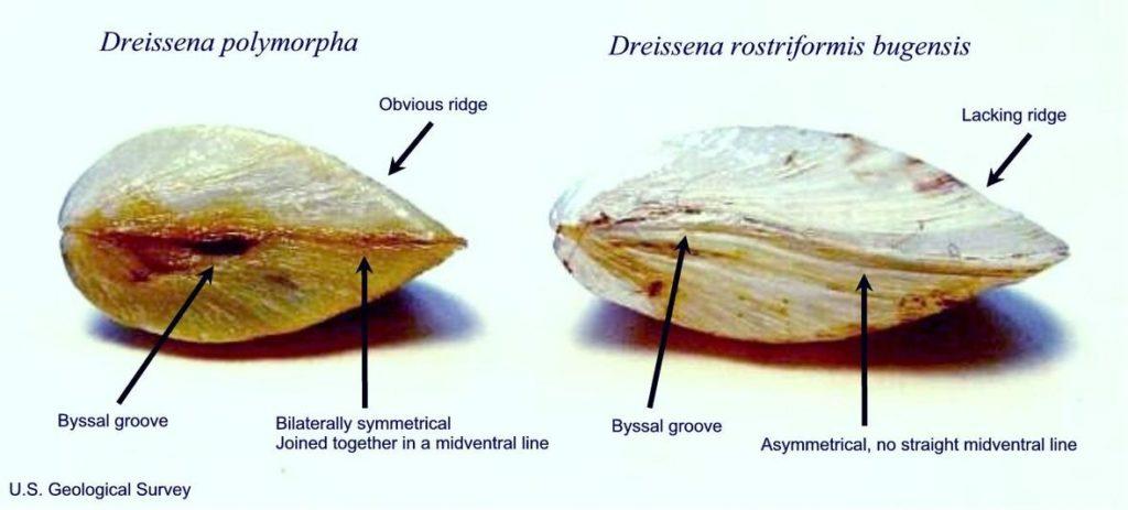 Quagga Mussel, right, and Zebra Mussel, left.